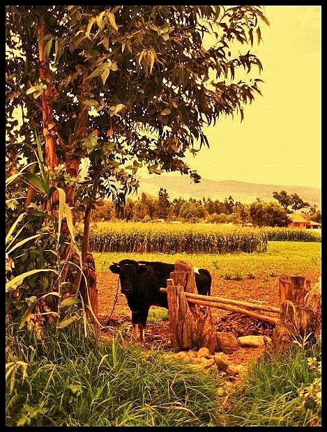 bolivia-cow